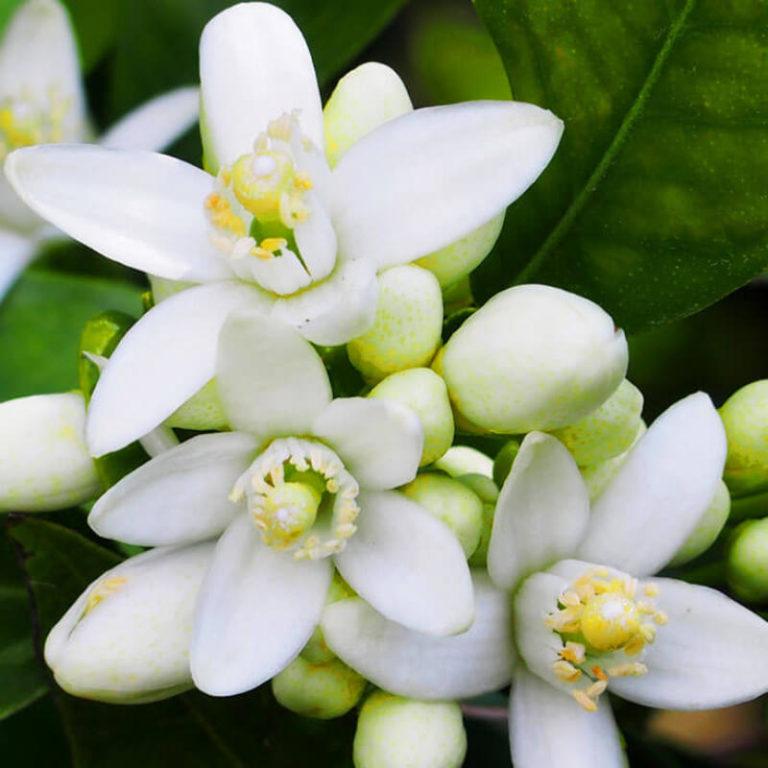 Neroli-flower